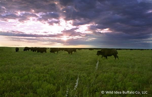 Wild-Idea bison
