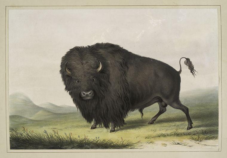 Buffalo_Bull_Grazing_George_Catlin_1845