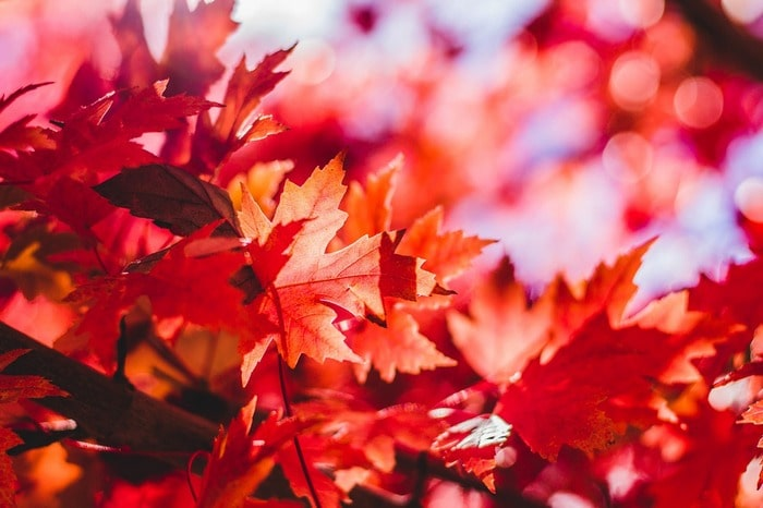 erable rouge automne