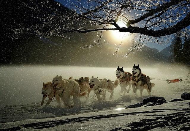 course chien de traineaux